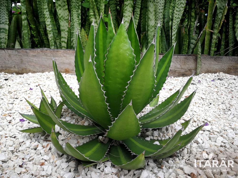 agave-lophantha-foto-semanal