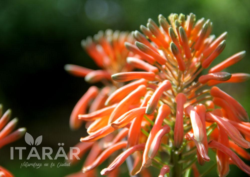 foto-semanal-flor-sabila